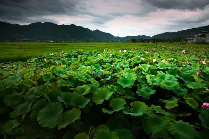 Lotus Pond mit grünem Weizen stockbild