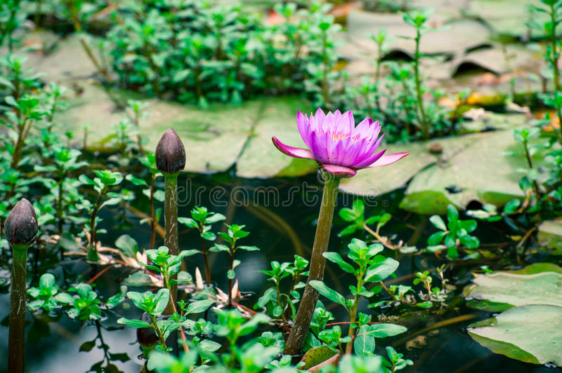 Lotus. Pond in the most beautiful scenery royalty free stock image