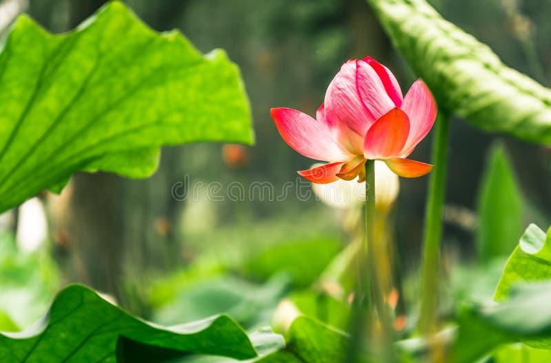Lotus pond stock photo image of growth flourish flowers 52347768 download lotus pond stock photo image of growth flourish flowers 52347768 mightylinksfo
