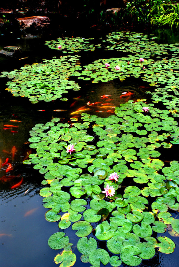 Lotus pond in spring rain. Lotus pond in the spring rain, overlapping round pond lily leaves and bloomy flowers, raindrops on the leaves stock photo