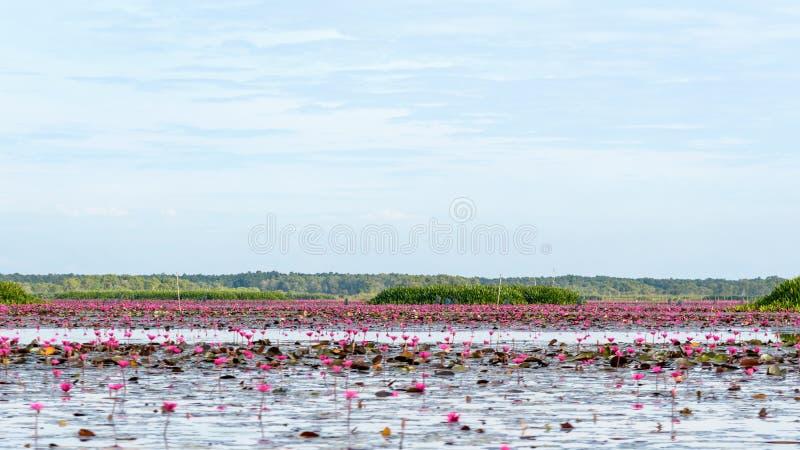 Lotus pond vid Thale Noi Waterfowl Reserve Park royaltyfria bilder