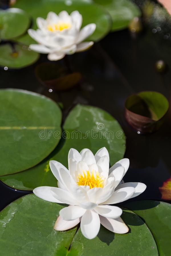 Lotus in pond. water lilies. Close up view stock photos