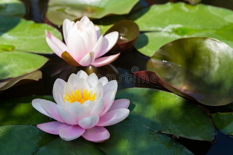 Lotus in pond. water lilies. Close up. close up view royalty free stock photo
