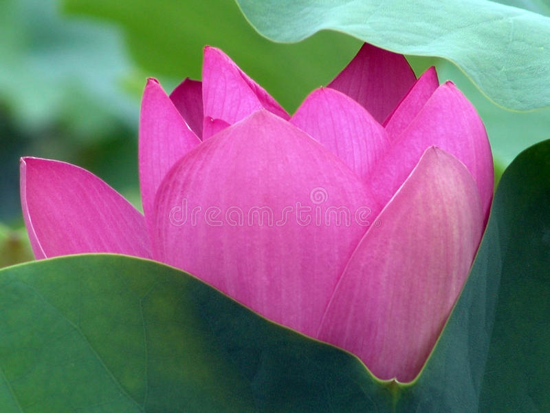 The Lotus Pool By Dawn Light stock photography