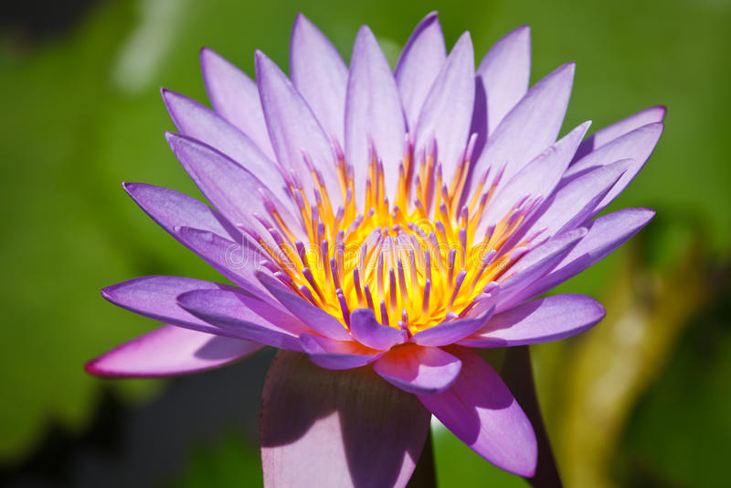 Lotus pourpré photos stock