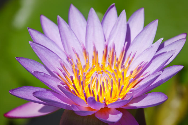 Lotus pourpré photos libres de droits