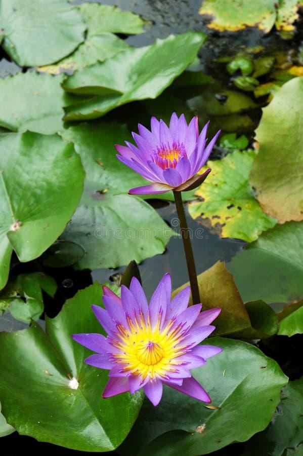 Lotus pourpré de lis d'eau photographie stock libre de droits