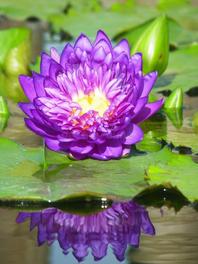 Lotus pourpre avec la réflexion de l'eau photo libre de droits