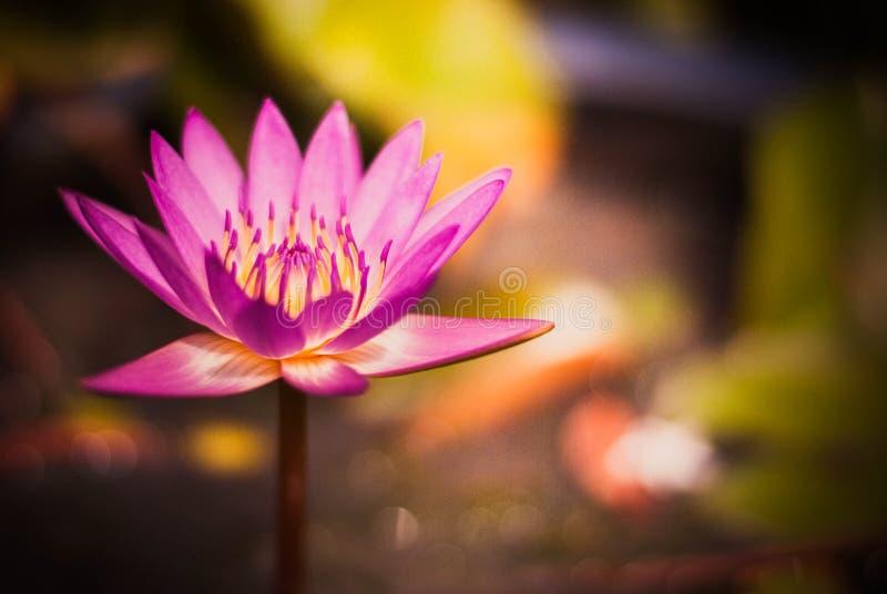 Lotus pourpre dans l'arrière-cour photo libre de droits