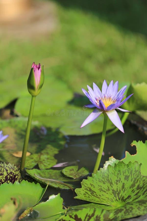 Lotus pourpre dans un étang avec la fleur image stock