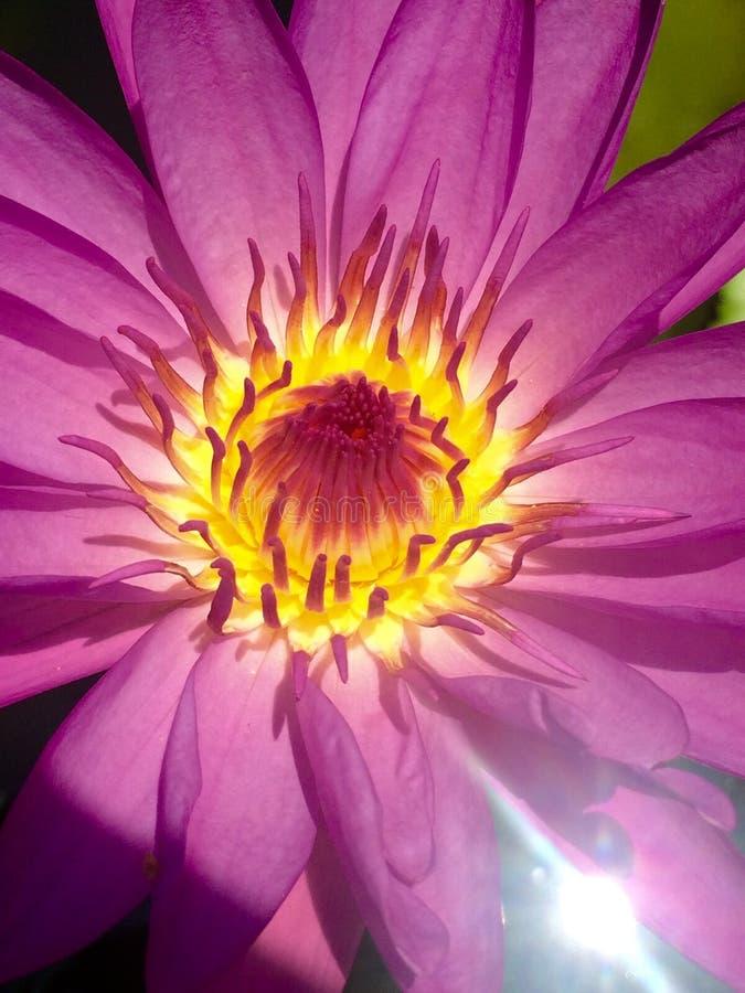 Lotus pourpre en fleur photographie stock