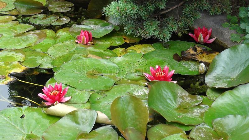 Lotus pourpre en parc image stock