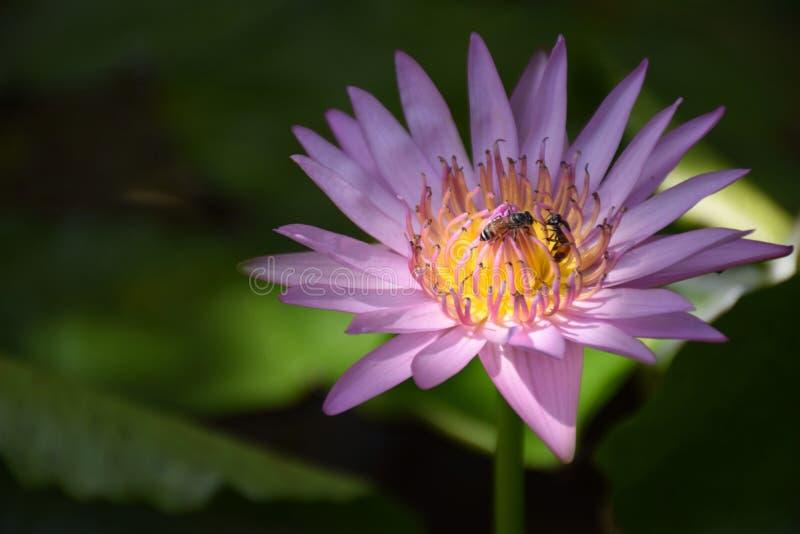 Lotus pourpre et deux abeilles photo stock