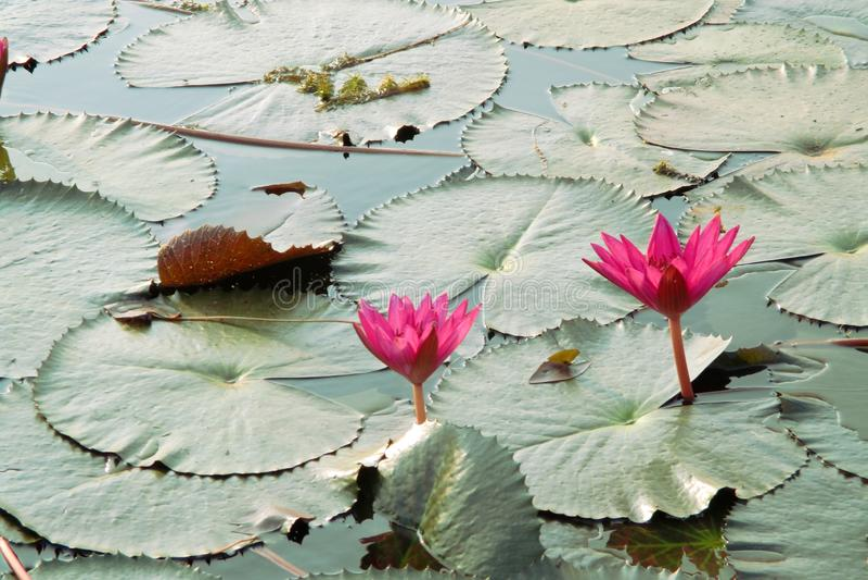 Lotus przeciw tłu zielone wodne leluje zdjęcie royalty free