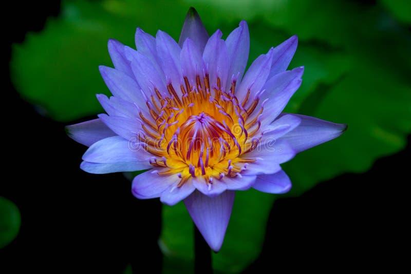 Lotus Purple imagen de archivo libre de regalías