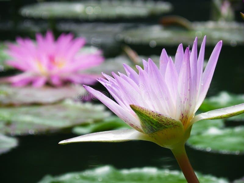 Lotus Purple photo stock