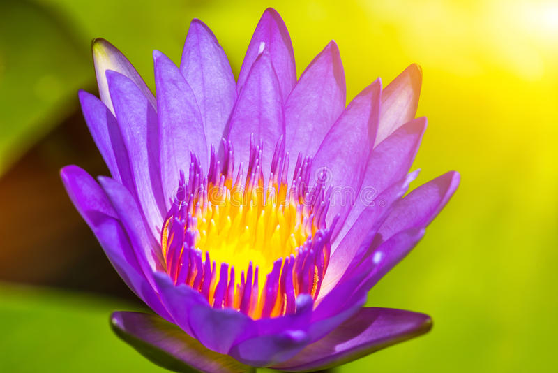 Lotus purple flower close-up stock images