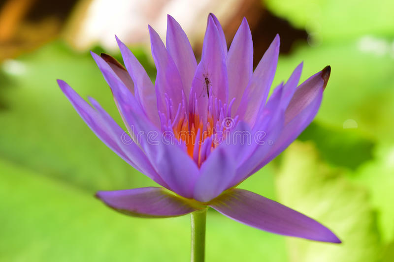 Purple tropical water lily stock images