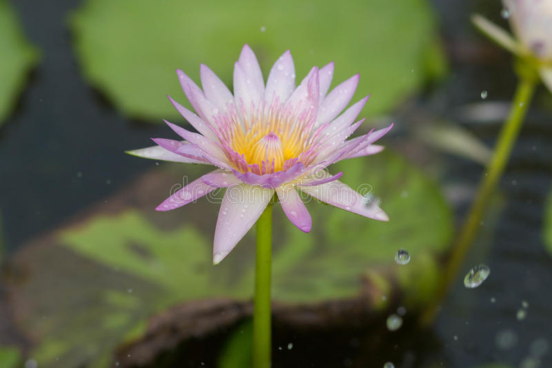 Lotus in the rain stock images