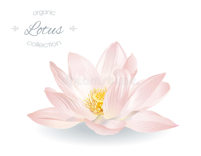 Lotus realistic illustration. Vector realistic illustration of lotus flower isolated on white background. Design for natural cosmetics, health care and ayurveda vector illustration