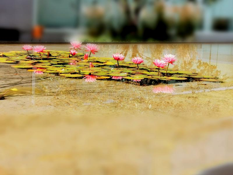 Lotus Reflection clicked with Mobile Camera. Mobilecamera, tropical, flower royalty free stock photography