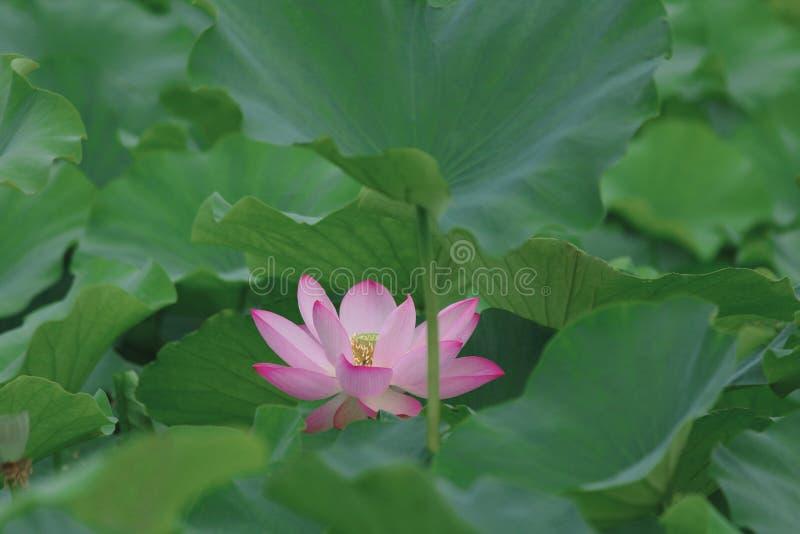 Lotus remarquable image stock