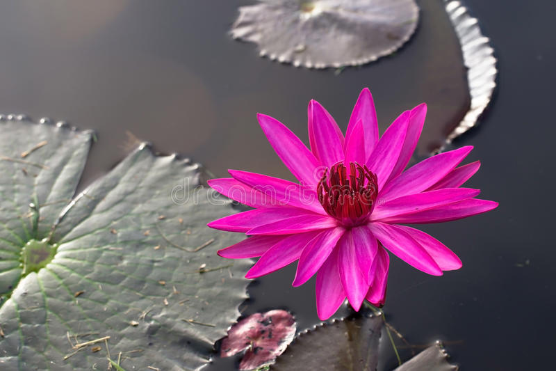 Lotus rojo foto de archivo