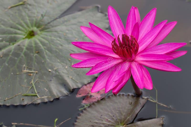 Lotus rojo fotografía de archivo