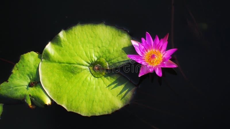 Lotus rosa e foglie del loto nello stagno fotografia stock