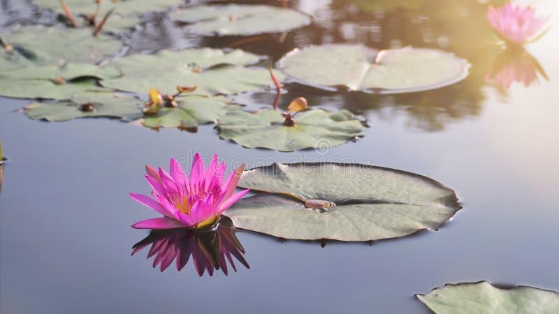 Lotus rosa e foglie del loto nello stagno immagine stock libera da diritti
