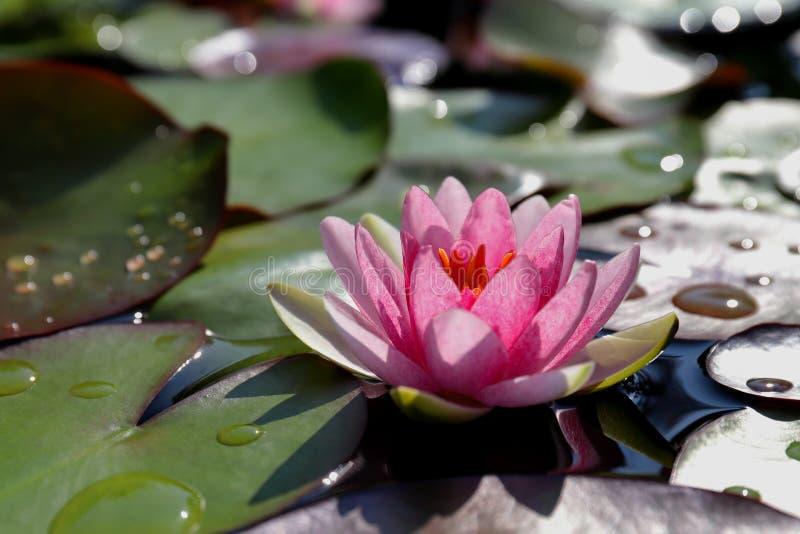 Lotus rosado hermoso, planta de agua en una charca foto de archivo libre de regalías