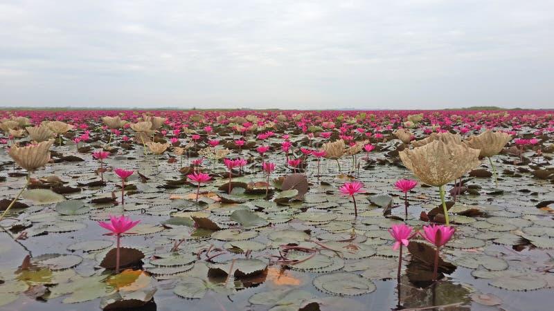 Lotus rose photographie stock