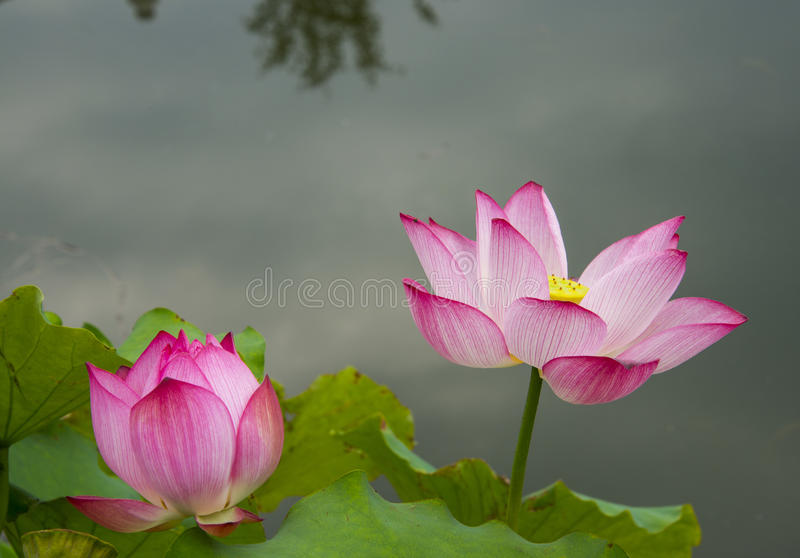 Lotus rose images libres de droits
