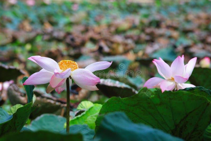 Lotus rose complètement de floraison image libre de droits