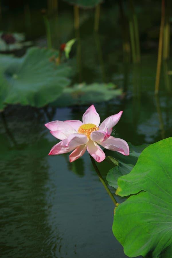 Lotus rose complètement de floraison photos libres de droits