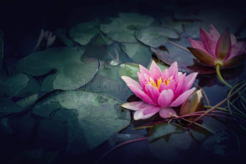 Lotus rose dans le style de vintage images stock