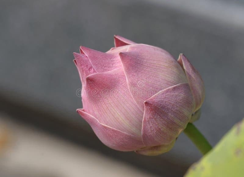 Lotus rose de plan rapproché photos stock