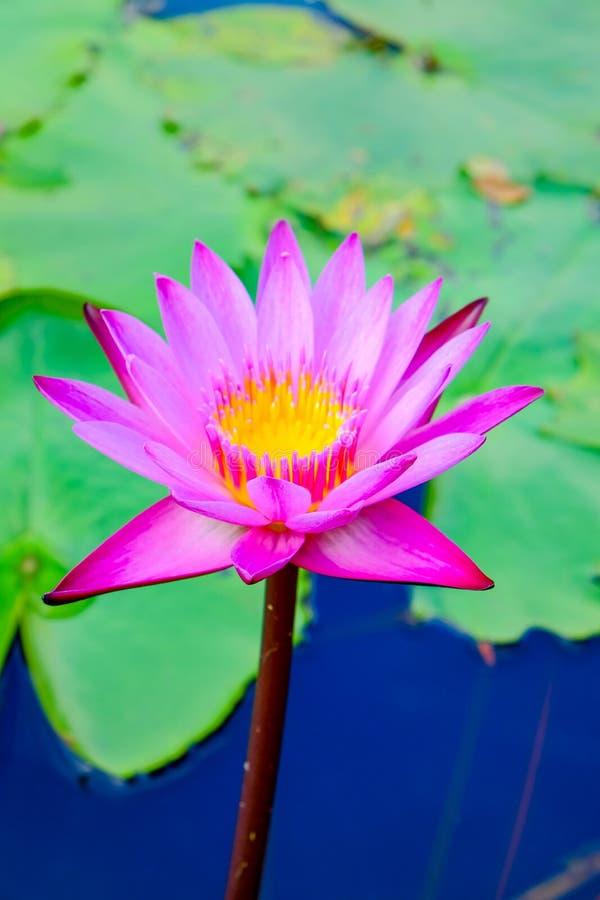 Lotus rose fleurissent admirablement photographie stock