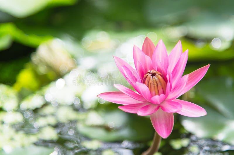 Lotus rose (nénuphar) avec la feuille verte dans l'étang et le Bokeh photos stock