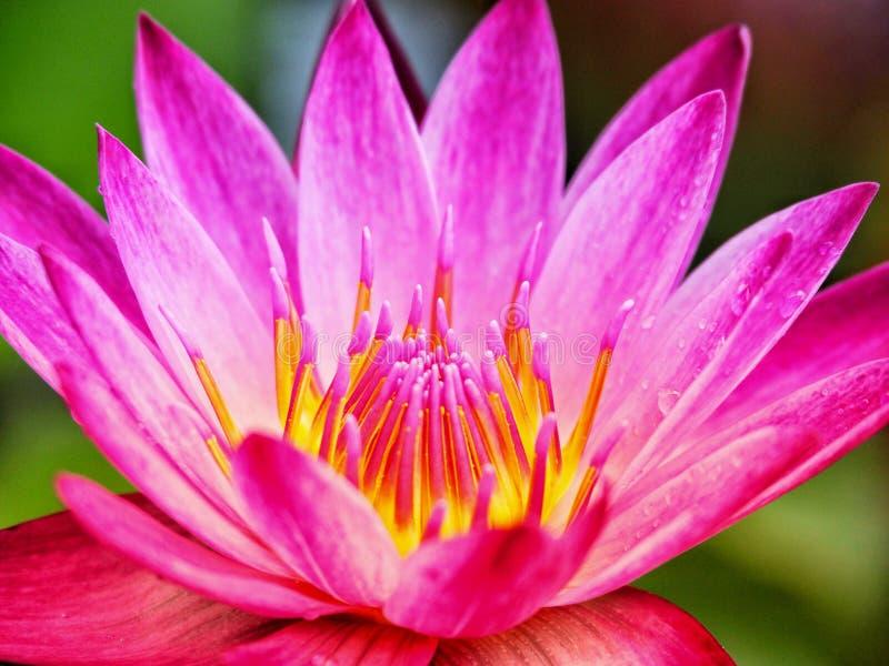 lotus photographie stock libre de droits
