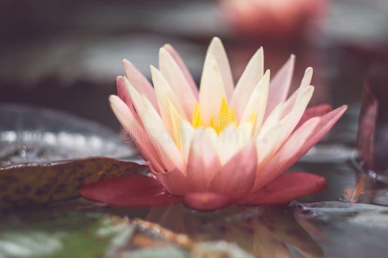 Lotus rose parmi l'étang Fleur tropicale exotique sur un fond vert clair L'eau lilly feuillage photo stock