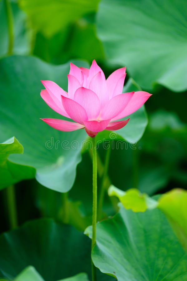 Lotus rose simple photo stock