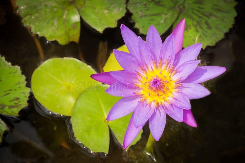 Lotus roxo na lagoa Vista superior imagens de stock