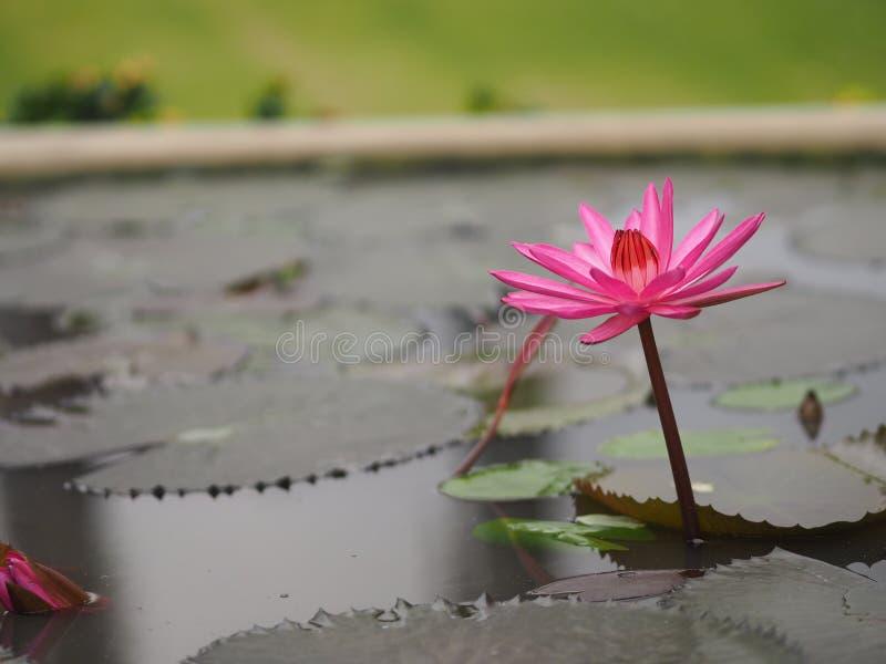 Lotus Sacred Pink Flower en pote de la terracota del agua fotos de archivo libres de regalías