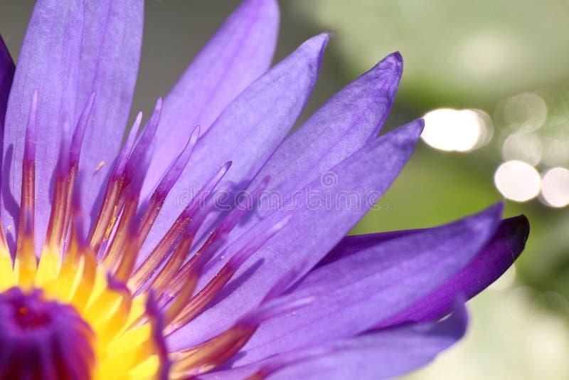 Lotus schön, purpurroter Lotoskarpellabschluß herauf Blume, Lotus-Blumenabschluß oben, Lotus-Blütennatur lizenzfreies stockbild