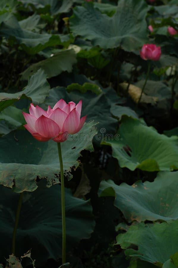 Lotus-schoonheid royalty-vrije stock foto's