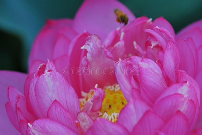 Lotus-schoonheid stock afbeelding