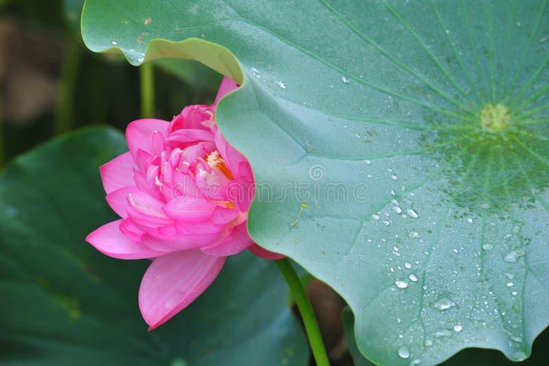 Lotus-schoonheid royalty-vrije stock afbeeldingen