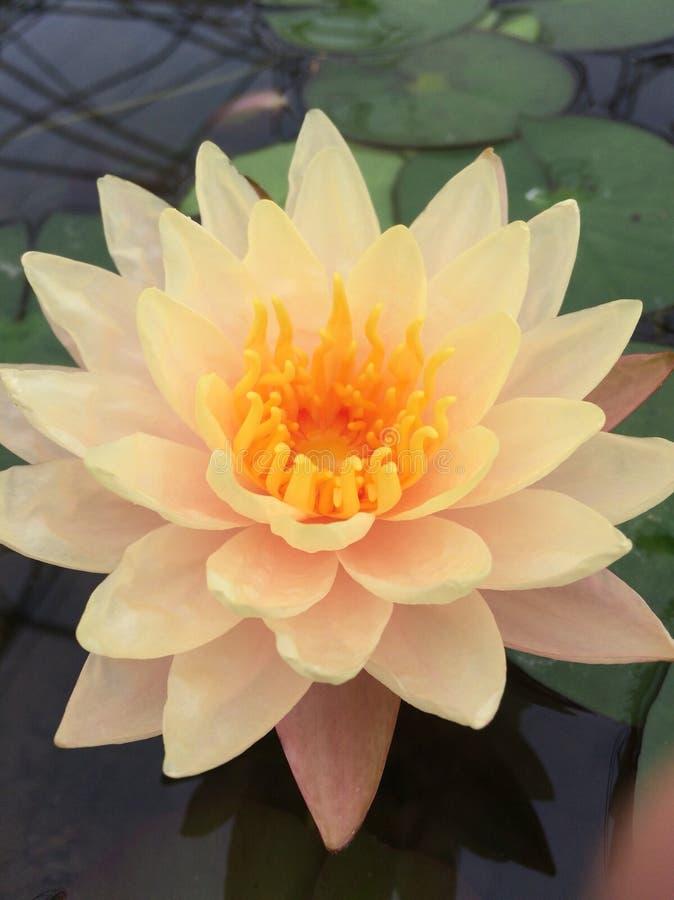 Lotus-schoonheid royalty-vrije stock fotografie