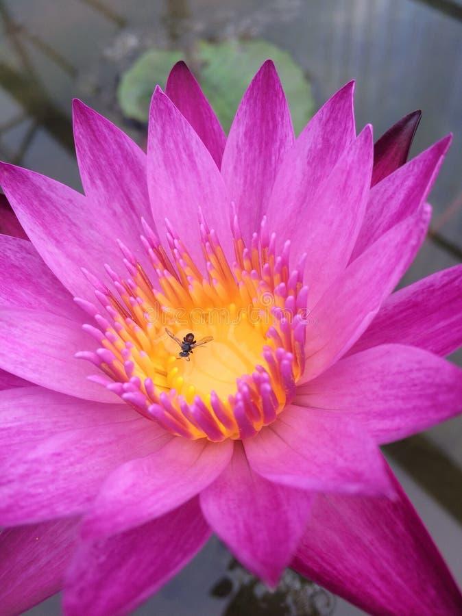 Lotus-schoonheid stock foto